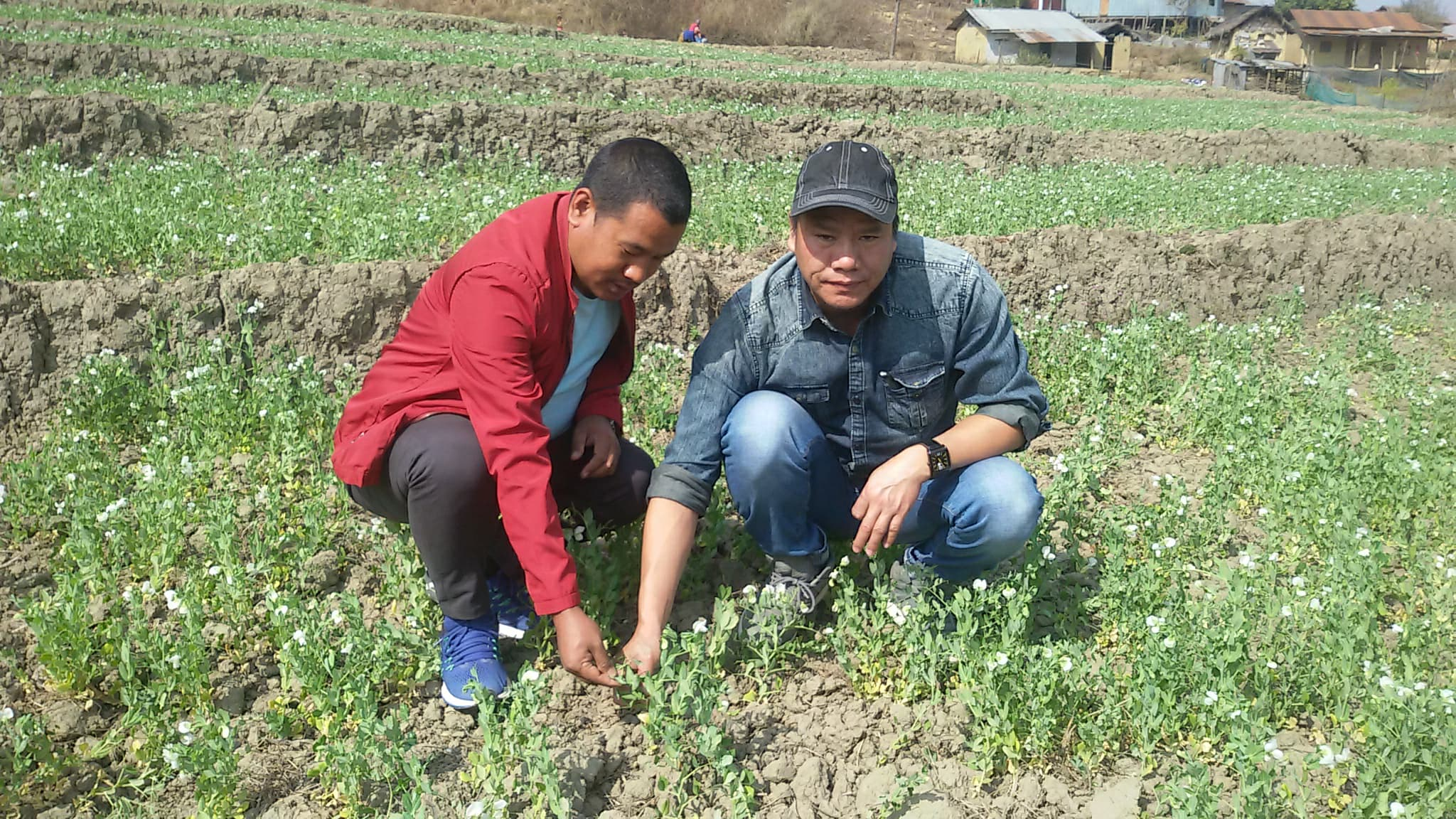 surveyed carried out of  pests and diseases on vegetable crop