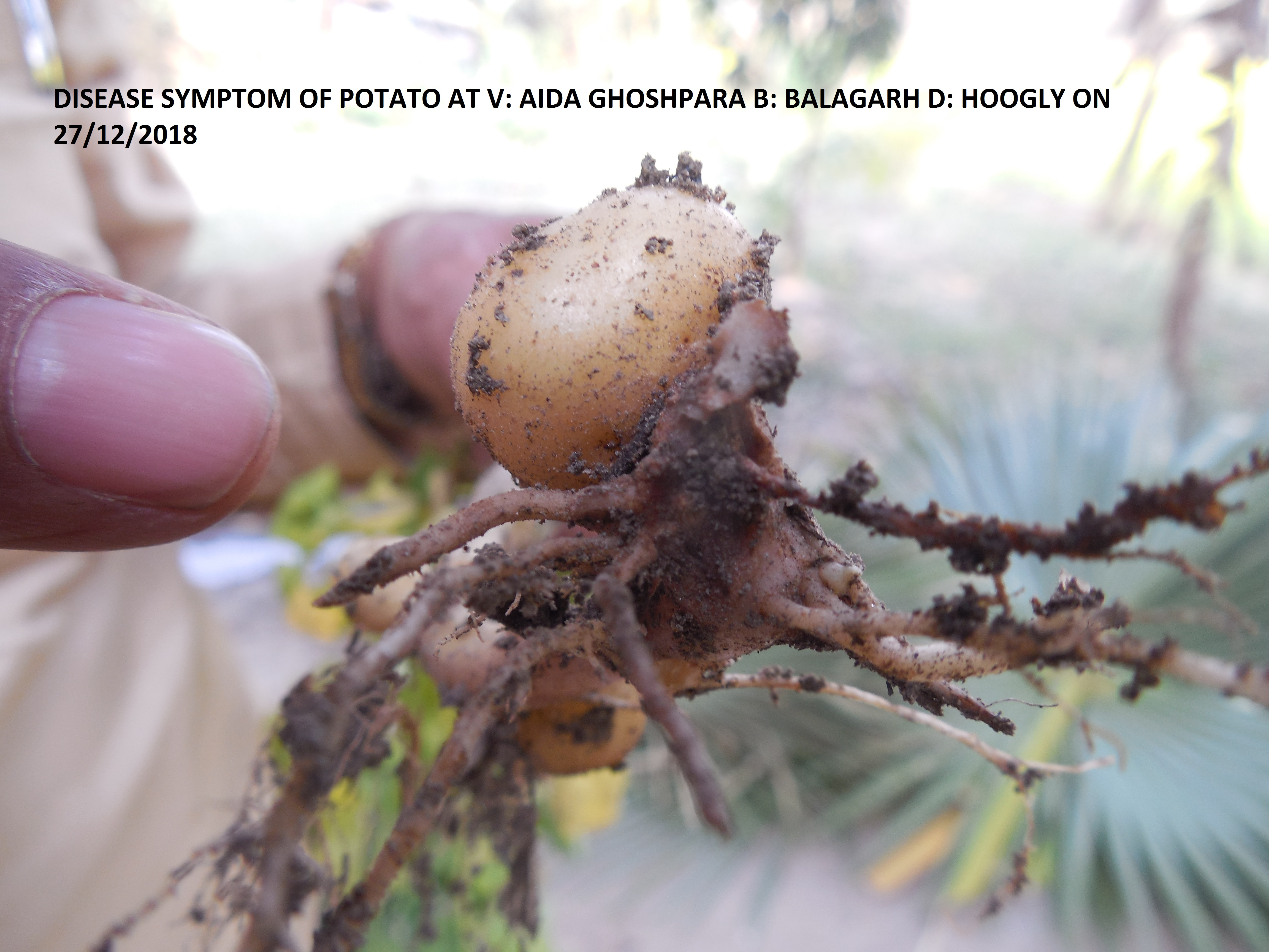Disease symptom of Potato