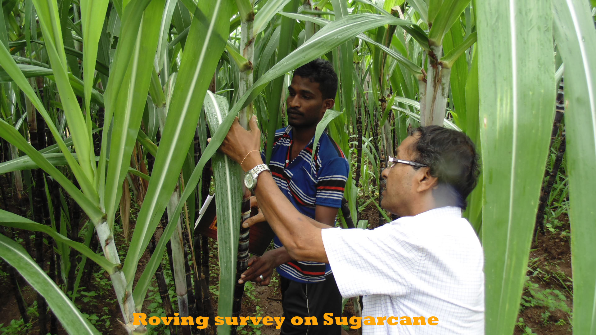 Roving survey on Sugarcane