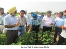 Survey of White Fly infested cotton